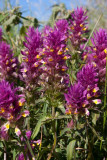 Pukvete (Melampyrum arvense)