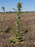 Långbladig spåtistel (Carlina vulgaris ssp. longifolia)