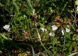 Färgmåra (Asperula tinctoria)