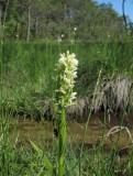 Vaxnycklar (Dactylorhiza incarnata var. ochroleuca)