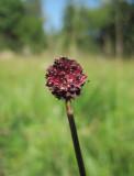 Blodtopp (Sanguisorba officinalis)