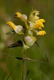 Äkta höskallra (Rhinanthus serotinus ssp. vernalis)