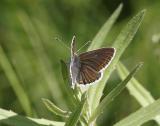Midsommarblåvinge (Aricia artaxerxes)