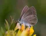 Mindre blåvinge (Cupido minimus)