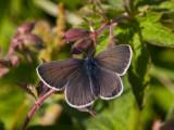 Brun blåvinge (Aricia artaxerxes)