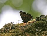 Körsbärsfuks (Nymphalis polychloros)