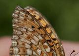 Hedpärlemorfjäril (Argynnis niobe)