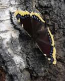 Sorgmantel (Nymphalis antiopa)