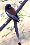 Rufous treepie(Dendrocitta vagabunda)