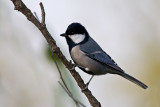 Great tit (asian specie)