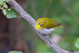 Zosteropidae - White-eyes