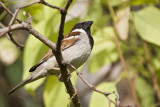 House sparrow (Passer domesticus)male