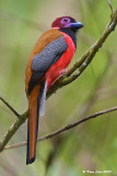 Diard's Trogon (Male)