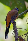 Red Naped Trogon (Female)
