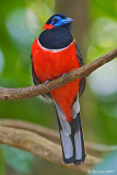 Red Naped Trogon (Male)