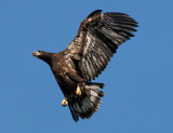 Bald Eagle (Juvenile, 11 weeks old)