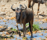 Wildebeest Crossing the Bologonja River