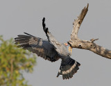 African Harrier-hawk