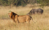 Male Lion and Cape Buffalo