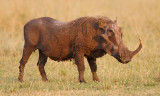 Warthog with enormous tusks