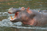 Hippo in the Grumeti River