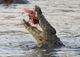 Nile Crocodile feeding