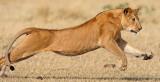 Lioness chasing wildebeest