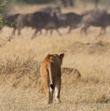 Lioness stalking wildebeest