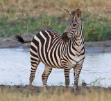 Zebra in Silale Swamp
