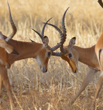 Male Impala fighting