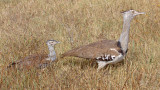 Kori Bustard and Chick