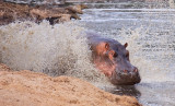 Hippo splashdown