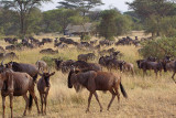 Wildebeest Herd surrounding Tanzania Under Canvas Camp