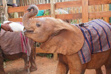 Orphan Elephant gets a bottle