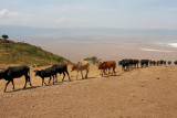 Maasai Cattle emerging from the Crater