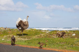 Ostrich chasing baboons