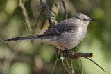 Mockingbird, Chattahoochee Nature Center