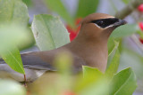 Cedar Waxwing, Near Mercer Wetlands, Atlanta