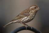 Purple Finch, Lilburn
