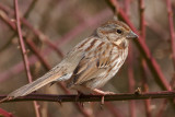 Song Sparrow, Mercer Wetlands
