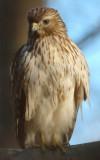 Immature Red-shouldered Hawk, Near Mercer Wetlands, Atlanta