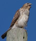 Immature female Red-shouldered Hawk, near Mercer Wetlands, Atlanta