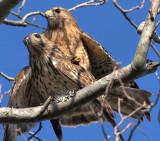 Red-shouldered Hawks mating, near Mercer Wetlands, Atlanta