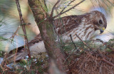 Immature Female Red-shouldered Hawk on nest, Mercer Wetlands