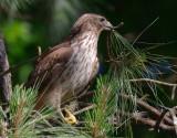 Immature Female Red-shouldered Hawk gathering nest material, Mercer Wetlands