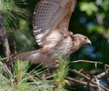 Immature Female Red-shouldered Hawk, Mercer Wetlands
