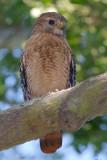 Male Red-shouldered Hawk, Mercer Wetlands