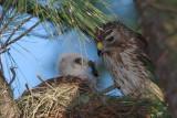 Red-shouldered Hawk mother and chick, Mercer Wetlands