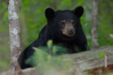 Female Black Bear