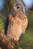 Red-shouldered Hawk Chick, Mercer Wetlands